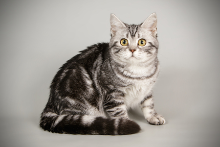 An American shorthair cat on a gray background