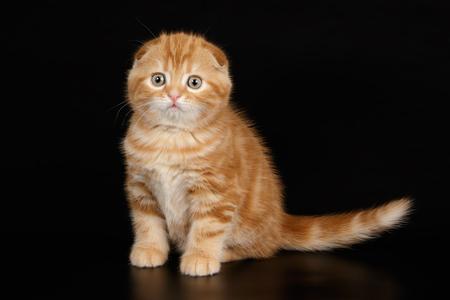 scottish fold red cat Banco de Imagens