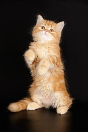 scottish straight red kitten