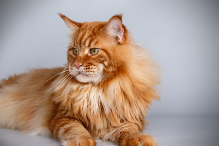 Maine Coon red cat on a gray background