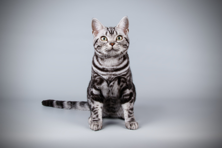 studio photography of an American shorthair cat on colored backgrounds Stock fotó