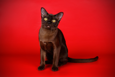 Studio photography of a Burmese cat on coloured backgrounds
