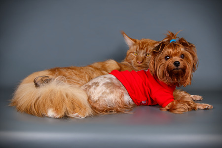 Studio photography of a Maine Coon cat and dog on colored backgrounds 免版税图像
