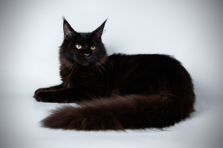Studio photography of a Maine Coon cat on colored backgrounds