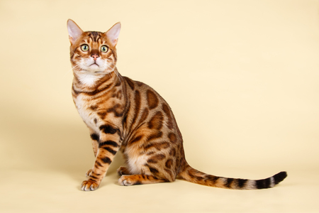 Studio photography of a bengal cat on colored backgrounds 스톡 콘텐츠