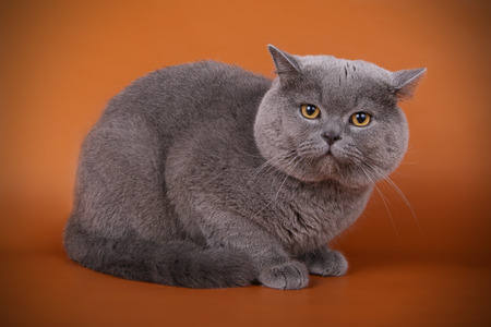 Studio photography of a british shorthair cat on colored backgrounds