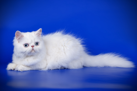 Studio photography of a persian cat on colored backgrounds Stock fotó