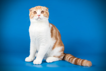 Studio photography of a scottish fold shorthair cat on colored backgrounds