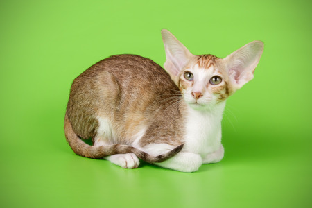 Studio photography of a oriental cat on colored backgrounds Imagens