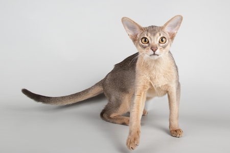 Studio photography of an abyssinian cat on colored backgrounds
