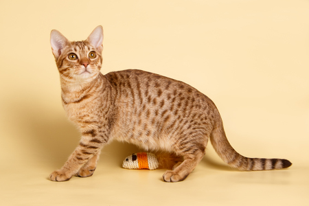 Studio photography of an Ocicat spotted cat on colored backgrounds 스톡 콘텐츠