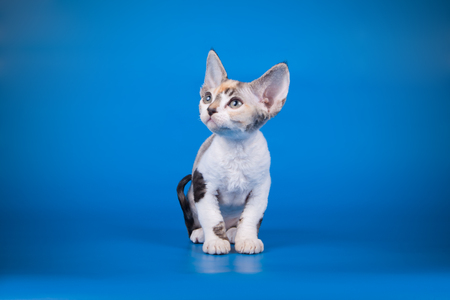 Studio photography of an American shorthair  on colored background