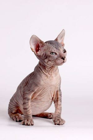 Studio photography of the cat of the don sphynx cat on colored backgrounds