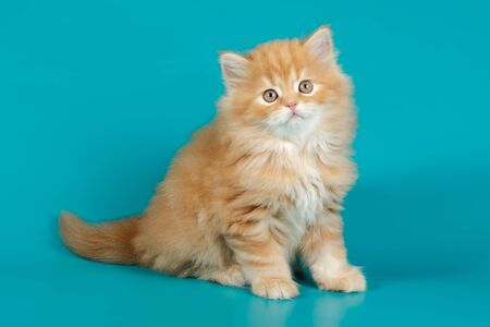 Studio photography of highland straight cat on colored backgrounds