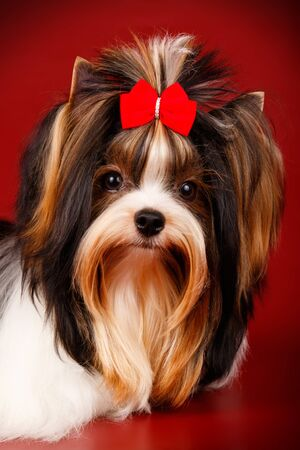Studio photography of a Biewer Yorkshire Terrier on colored backgrounds