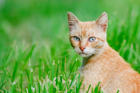 Thoughtful cat sitting in the grass and listens