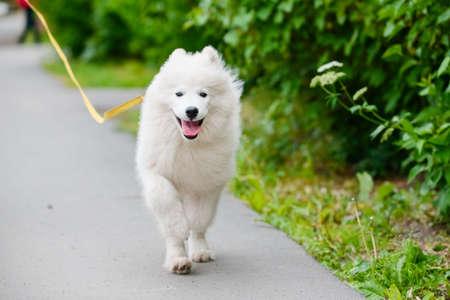 Happy dog Samoyed white and furry running around in the street