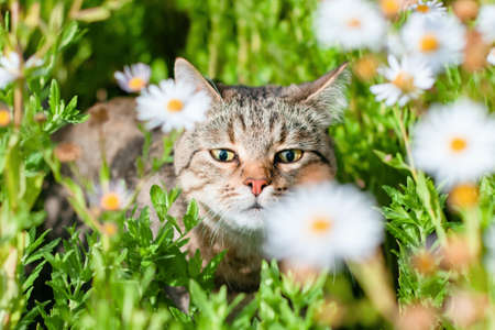 beautiful happy tabby cat walks in the bright sunny grass and sniffing the chamomile flowers under the warm rays of the summer sun animal pet sweet background nature wallpaper. Stock Photo