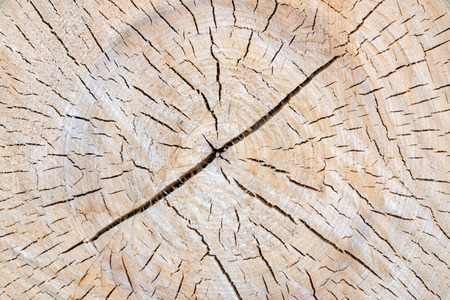 A cut of the tree trunk giving a good view of the concentric year of the ring isolated, many cracks of the trunk. Close up.