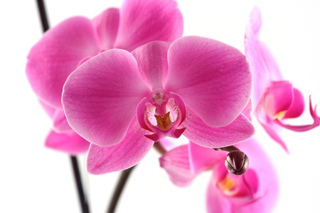 pink orchid close up in studio photo