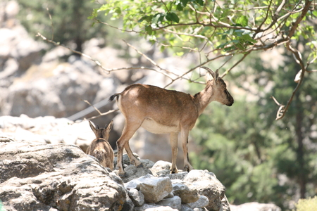 Two kri kri goats in Samaria Gorge on Crete