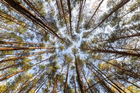 tree crowns wide angle photo, forest landscape