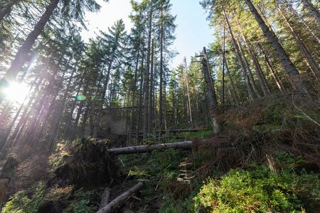 Fallen trees in forest in summer