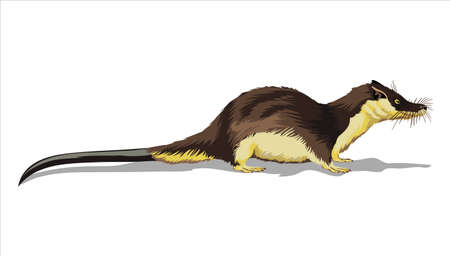 Otter Shrew. A small animal, a field yellow rodent with a very long tail.Isolated in white background.Vector illustration.