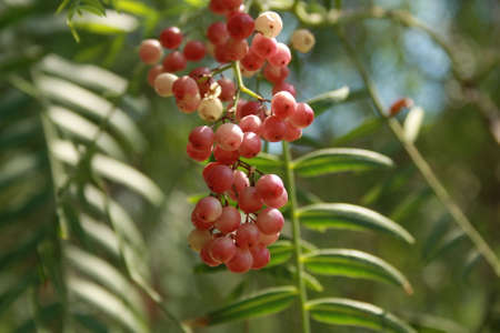 droop: The berries on the light