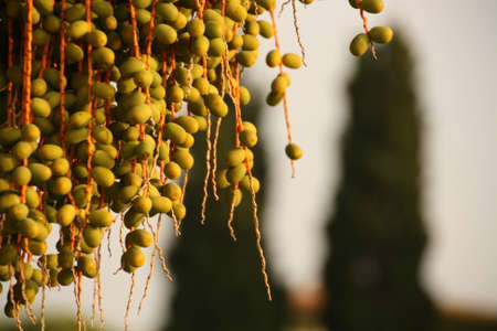 droop: berries Stock Photo
