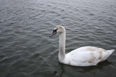 courting: Courting white swan on  the blue lake water.