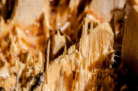 wood chip: Log with Drops of Resin and with wood chip