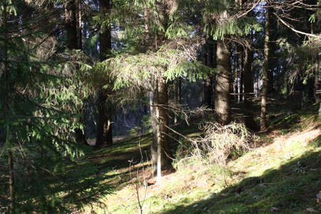 mycelium: coniferous trees in a beautiful morning, the suns rays