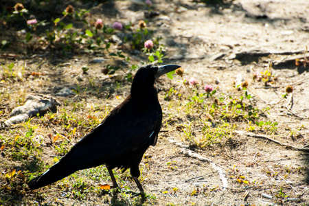 carrion: A large adult Rook struts across the garden lawn before feeding on carrion