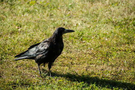 corvidae: A large adult Rook struts across the garden lawn before feeding on carrion