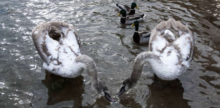 primordial: Courtship of a young gray swans on a blue lake with clear water.