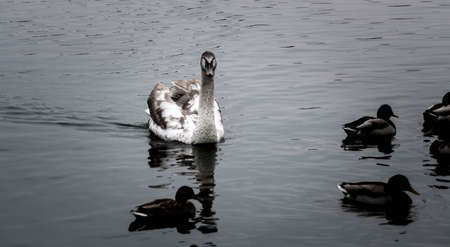 courtship: Courtship of a young gray swans on a blue lake with clear water.