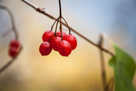 fascicule: Bunch of ripe Viburnum on a branch on light background