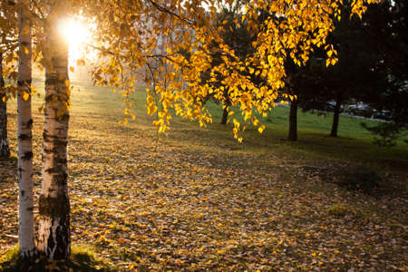 golden light: autumn city Park with yellow trees and leaves Stock Photo