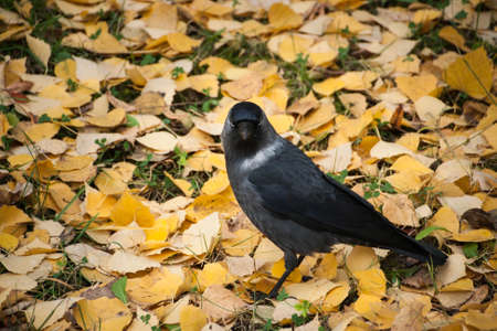 jackdaw: jackdaw walking on autumn yellow fallen leaves