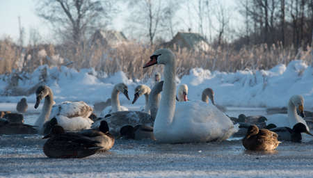 january sunrise: white swans and ducks on the frozen lake