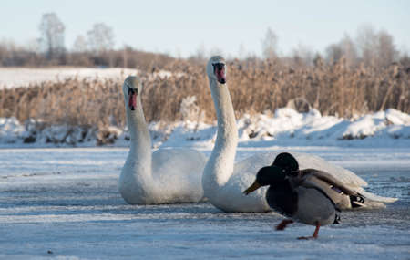 two ducks: two white swans and two ducks on snow in winter