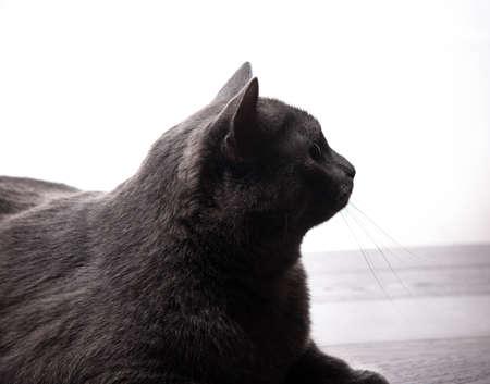 grey cat: large grey cat isolated on white background