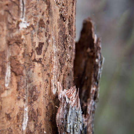 woodland  horror: claw marks on the trunk of the tree Stock Photo