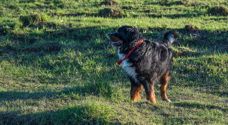 bernese dog: Bernese Mountain Dog happily walking on the grass