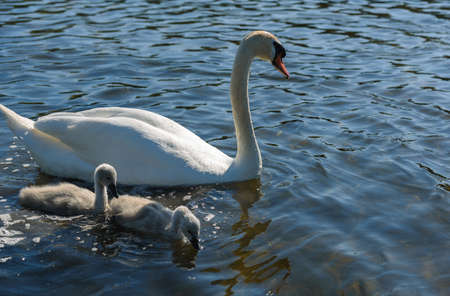 baby love: family Shipunov swans with Chicks on the lake Stock Photo