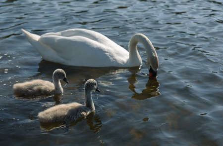 family Shipunov swans with Chicks on the lake Stock Photo