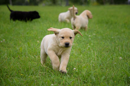 cute yellow Labrador puppy running on the green field