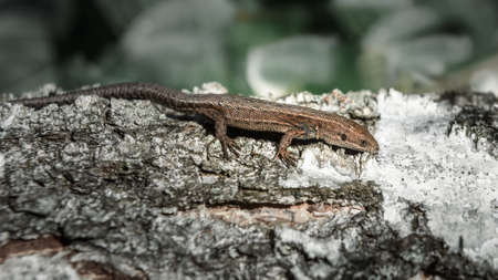 small brown lizard running across the trunk of a birch Stock Photo