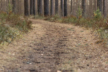 Empty forest path strewn with pine needles turn among the pine trees, road in forest